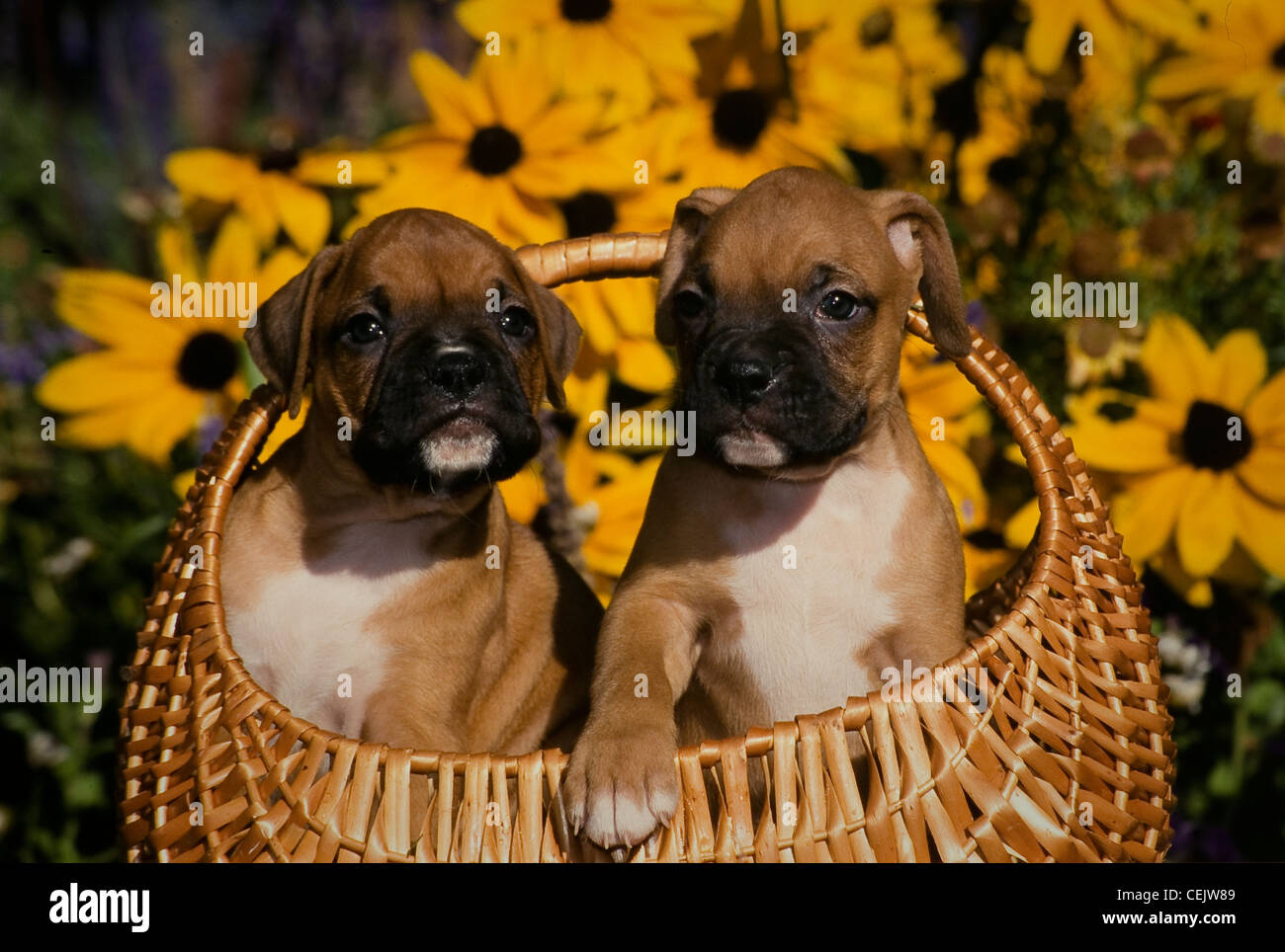 Two Boxer Puppies In Basket With Flowers Behind Stock Photo