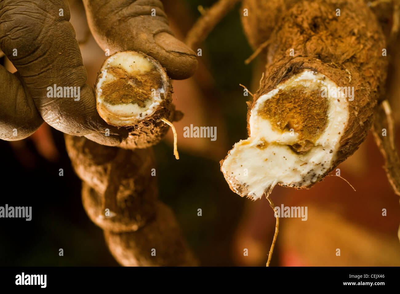 Hands Holding Diseased Cassava - Stock Image