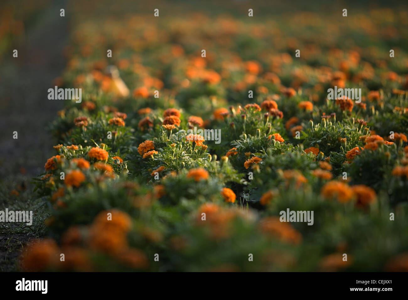 Yellow marigold flowers, known as cempasuchil, before the harvest in Mexico City - Stock Image