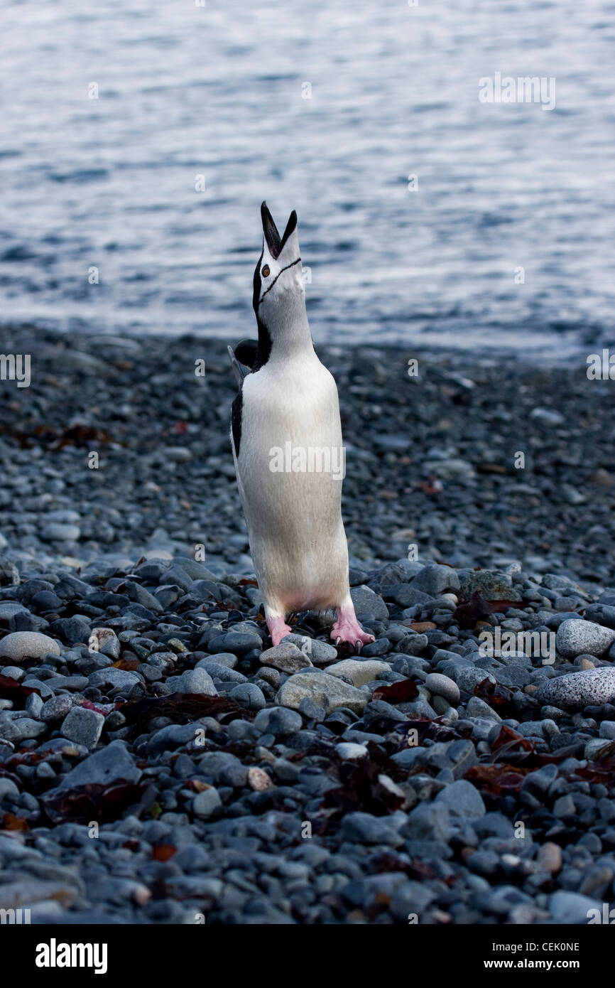 Chinstrap Penguin standing on the beach in Antarctica Stock Photo