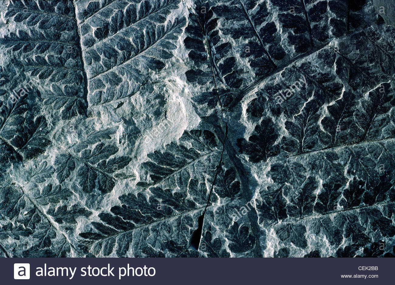 Fine example of fossilised fern of type Sphenopteris preserved in Carboniferous coal sample 300 million years old - Stock Image