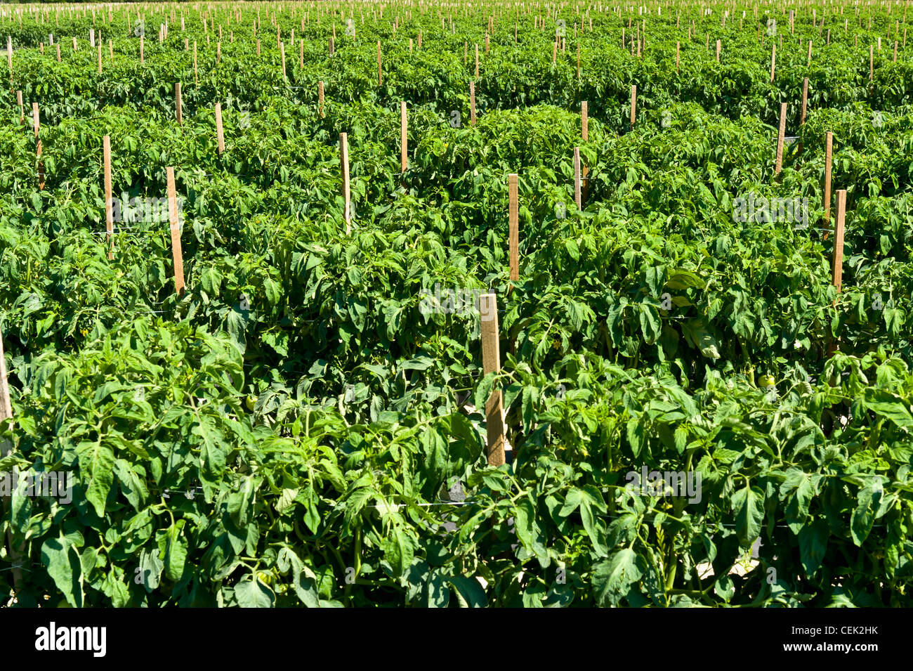 Agriculture - Large field of mulched, irrigated and staked fresh market tomato plants / near Hamburg, Arkansas, - Stock Image