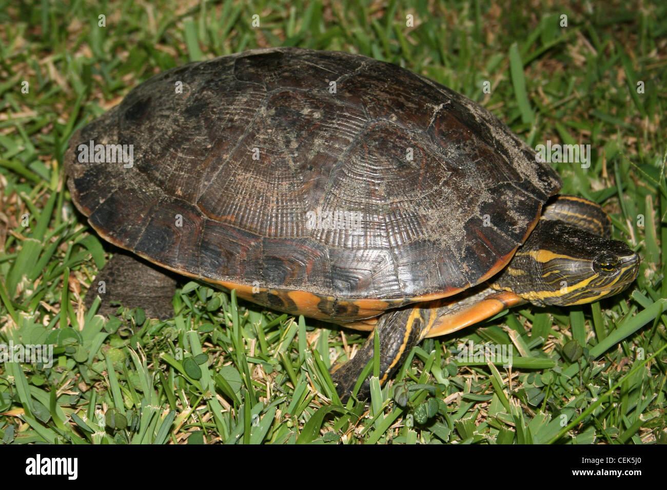 Black River Turtle Rhinoclemmys funerea - Stock Image