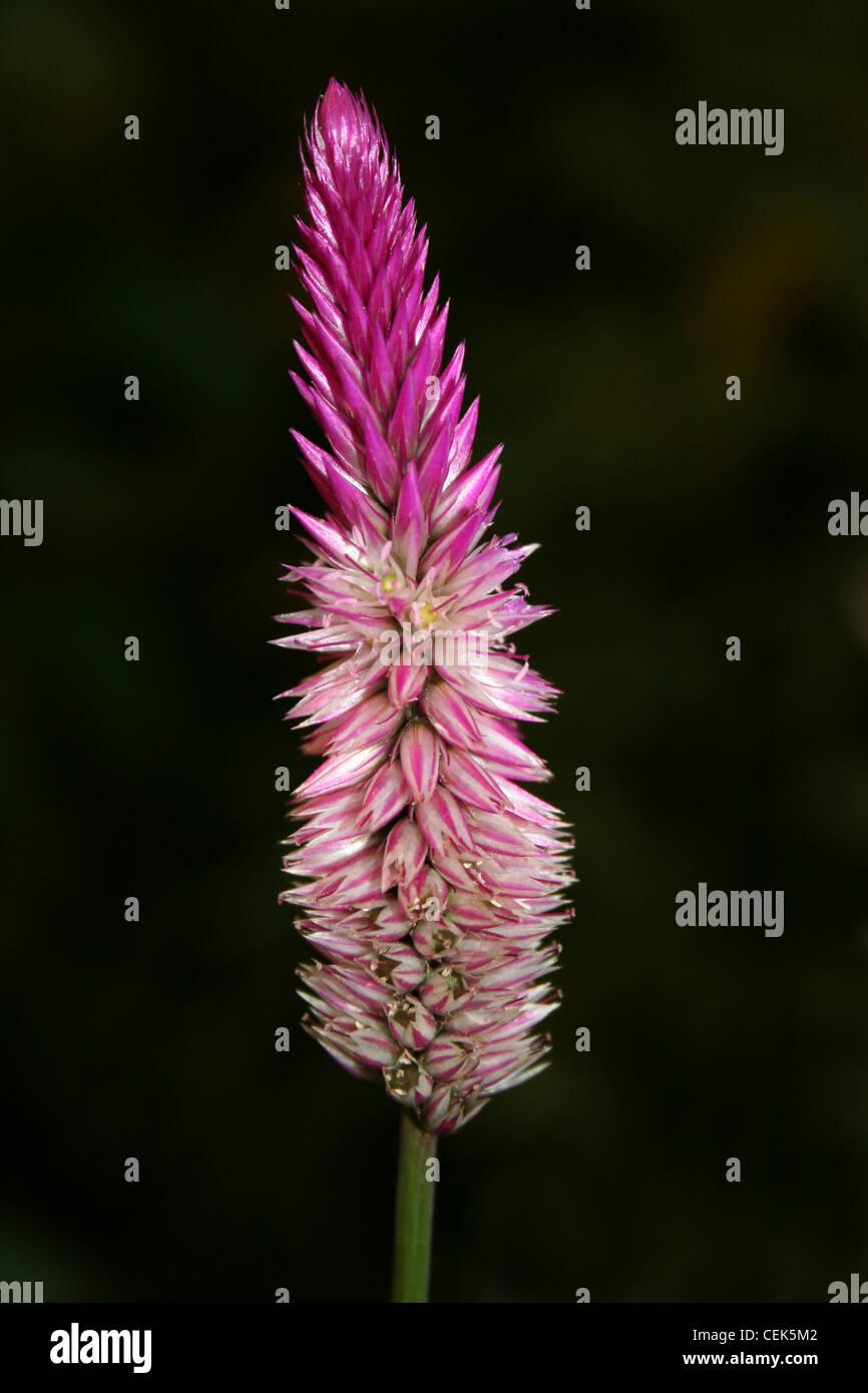 Pink Garden Flower 'Plumed Cockscomb' - Celosia argentea, Costa Rica - Stock Image