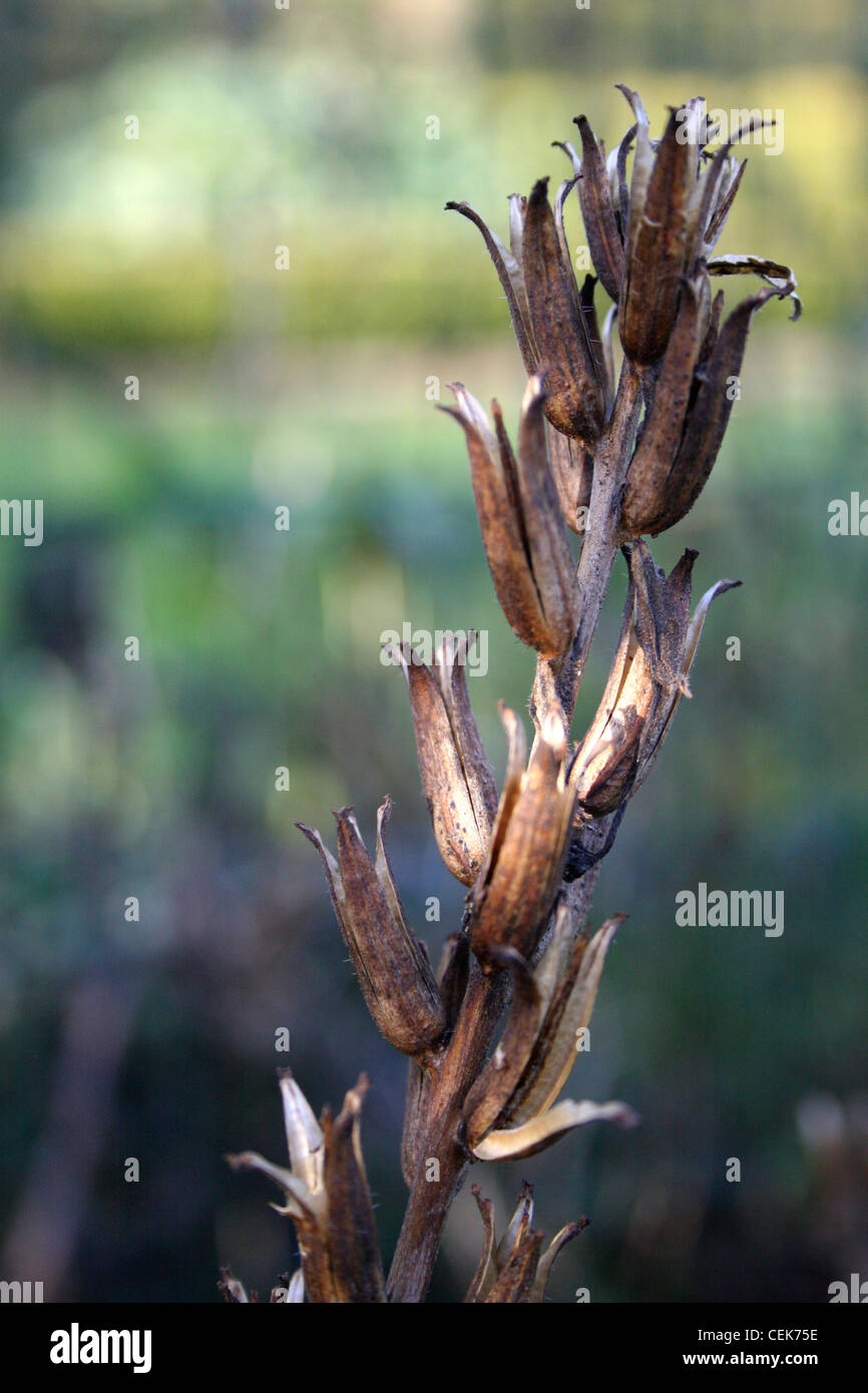 A close up of a brown dried plant in dappled light - Stock Image