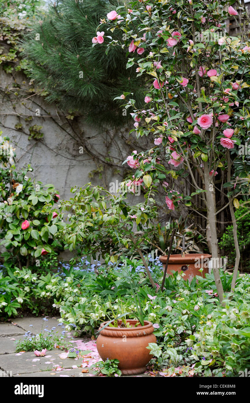 Hidden treasure pink camelia bush pine tree and potted plants on hidden treasure pink camelia bush pine tree and potted plants on the paved patio mightylinksfo