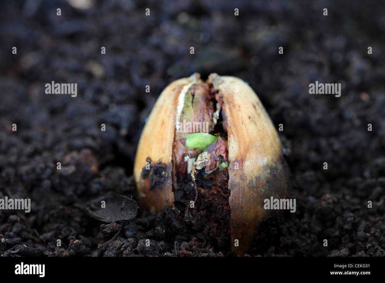 Sprouting Acorn From a Pedunculate Oak Tree Quercus robur UK - Stock Image
