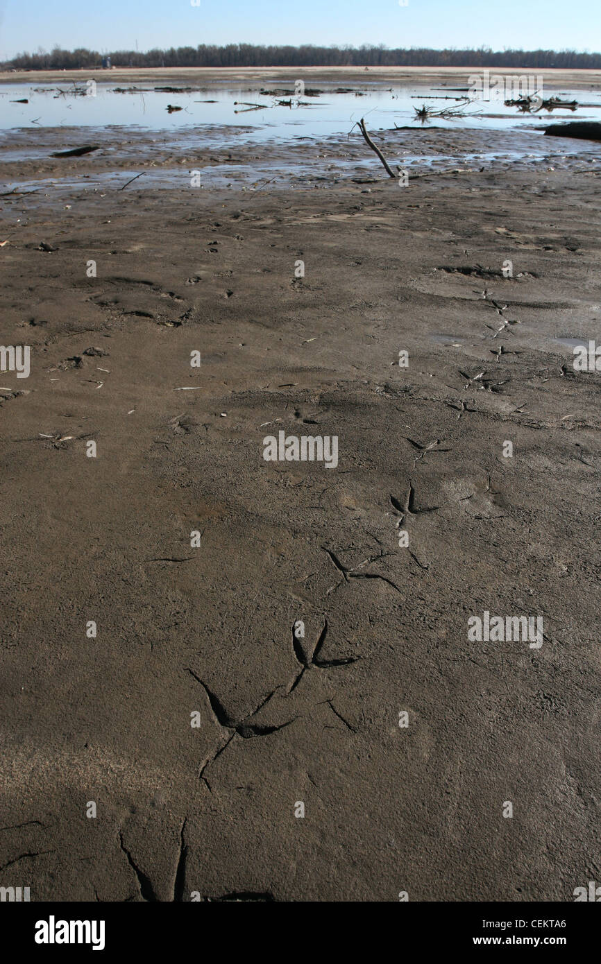 heron tracks on sandbar Mississippi river Missouri wetland sand bar dune bird track mud low water - Stock Image