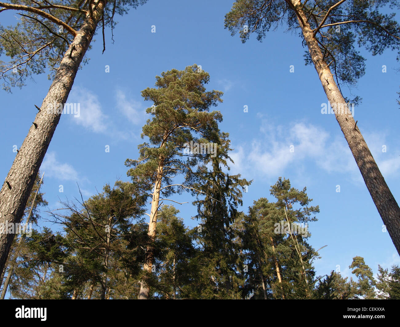 pine trees with sky and clouds / Kiefern mit Himmel und Wolken - Stock Image
