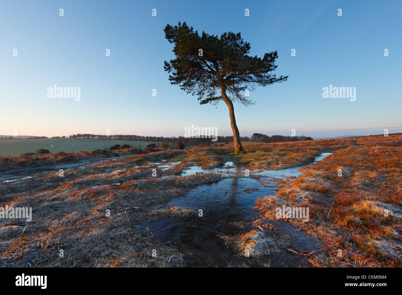 Lone Pine Tree on Black Hill. The Quantock Hills. Somerset. England. UK. - Stock Image
