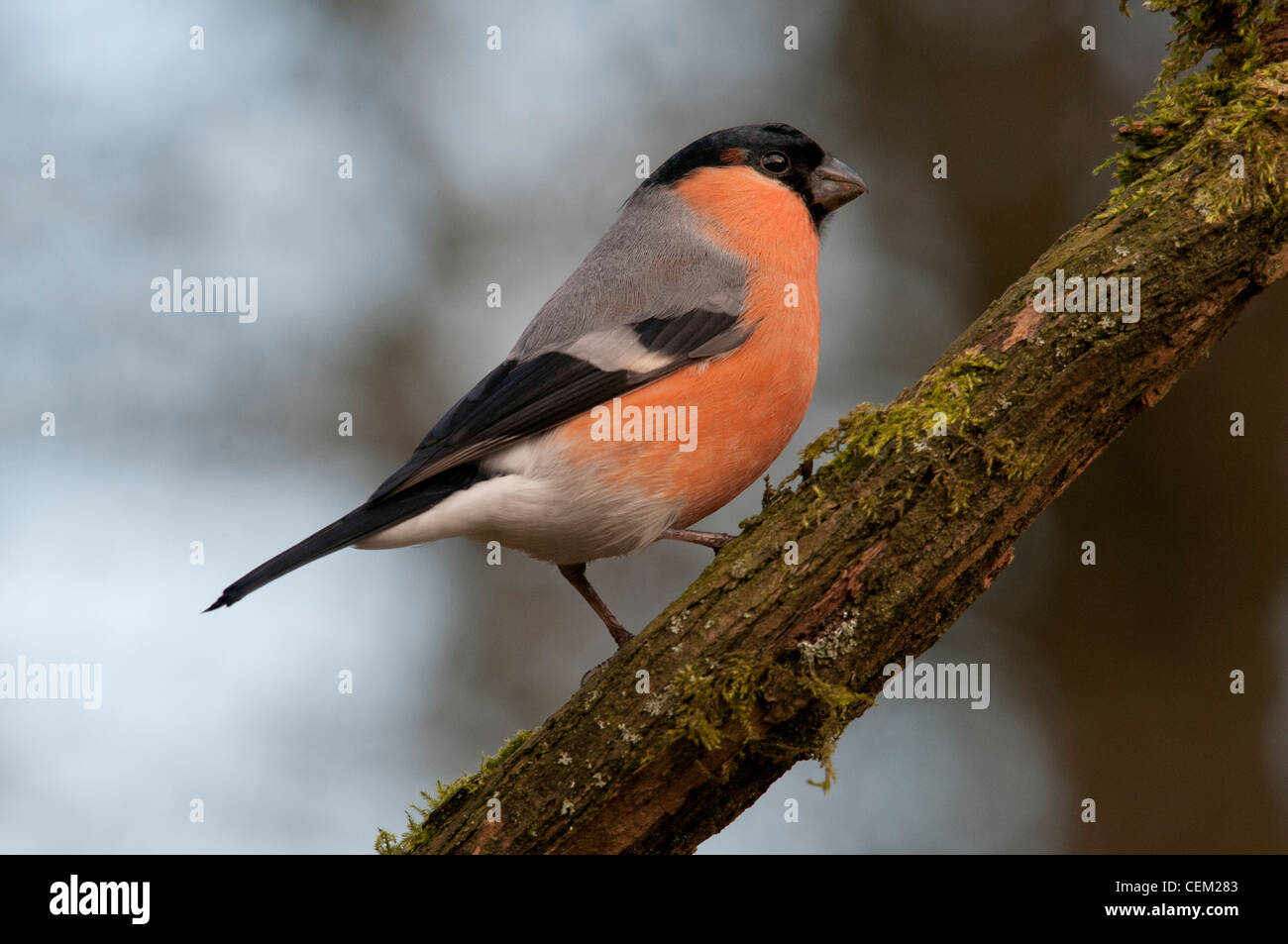 bullfinch male sitting on a branch - Stock Image