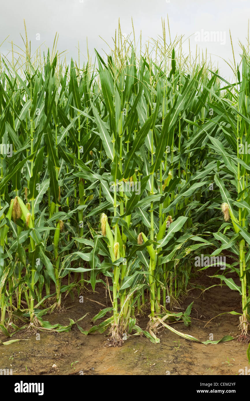 Twin row planted mid growth grain corn plants at the post tassel stage with maturing ears on the stalks, viewed Stock Photo