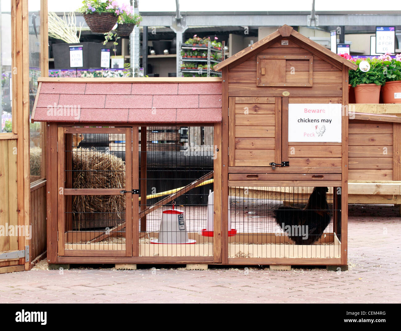 Uk Domestic Poultry Being Kept In A Chicken Coup Gallus