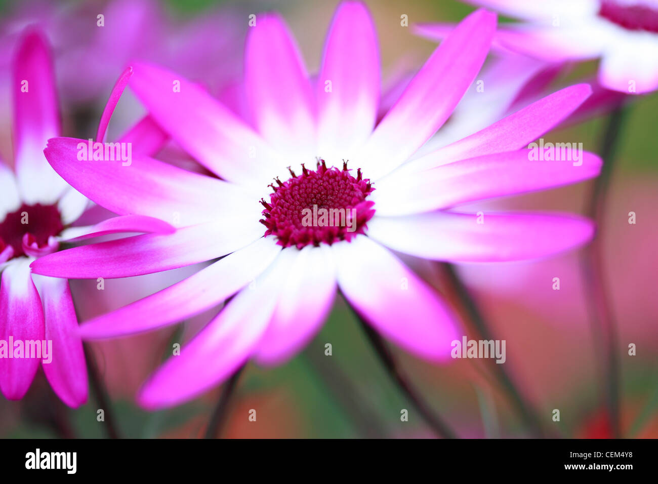 Senetti magenta Bicolour Stock Photo
