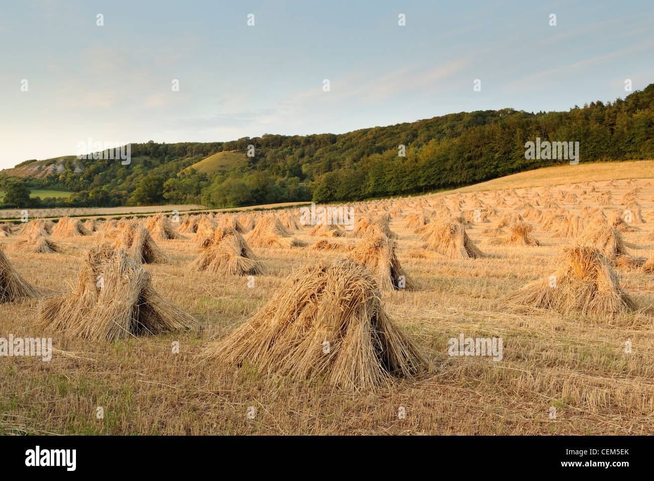 Traditional stacks of Wheat, known as stitches, in a field in Somerset, UK. - Stock Image