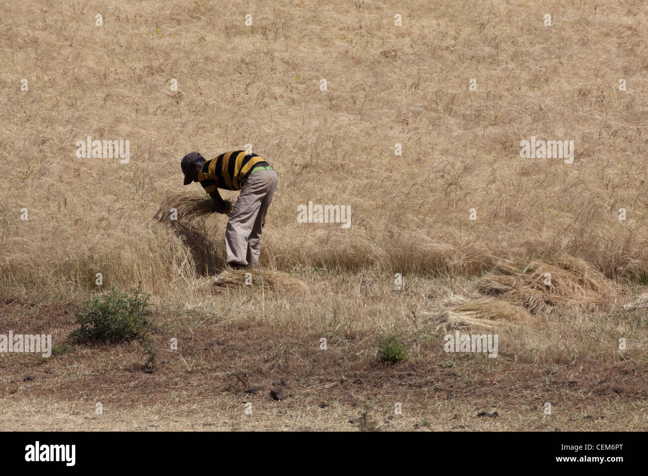 Farmer harvesting a Millet (Panicum sp. ) cereal crop by hand using a sickle. November. Highlands. Ethiopia. - Stock Image