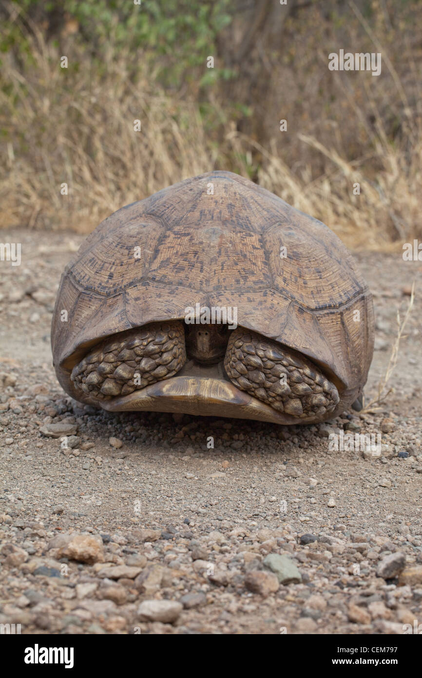 Leopard Tortoise Stigmochelys (Geochelone) pardalis pardalis. Ethiopia. Second largest growing tortoise to be found - Stock Image