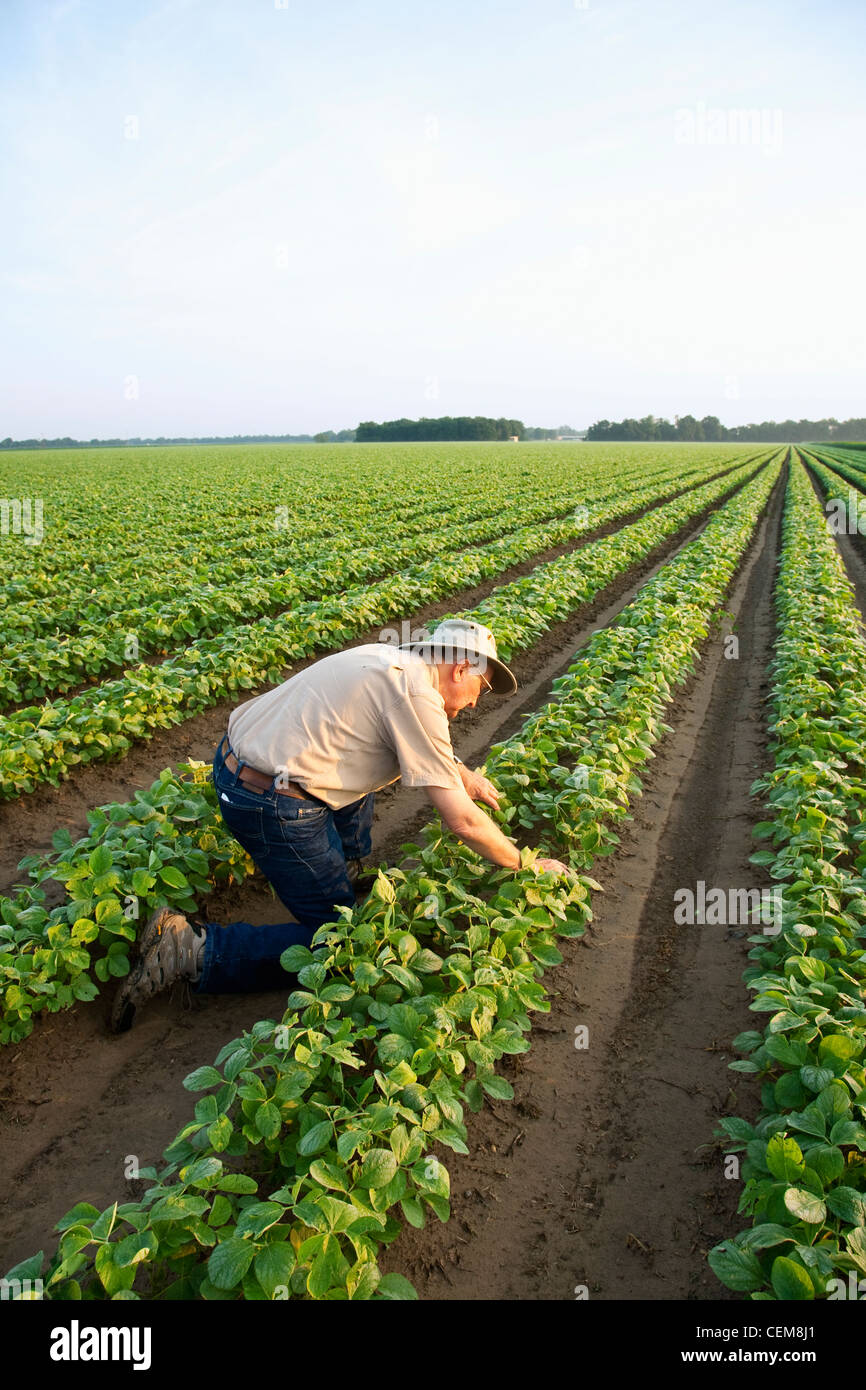 A Farmer (grower) Inspects His Early Growth Crop Of Twin