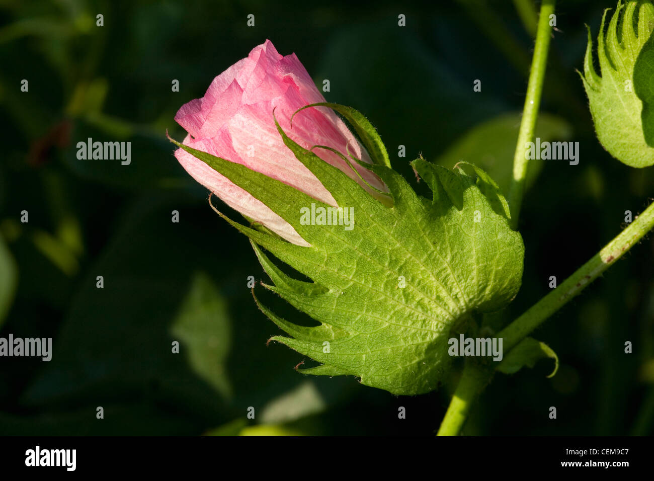 Agriculture - Closeup of a pink blossom on a mid growth cotton plant / Arkansas, USA. - Stock Image