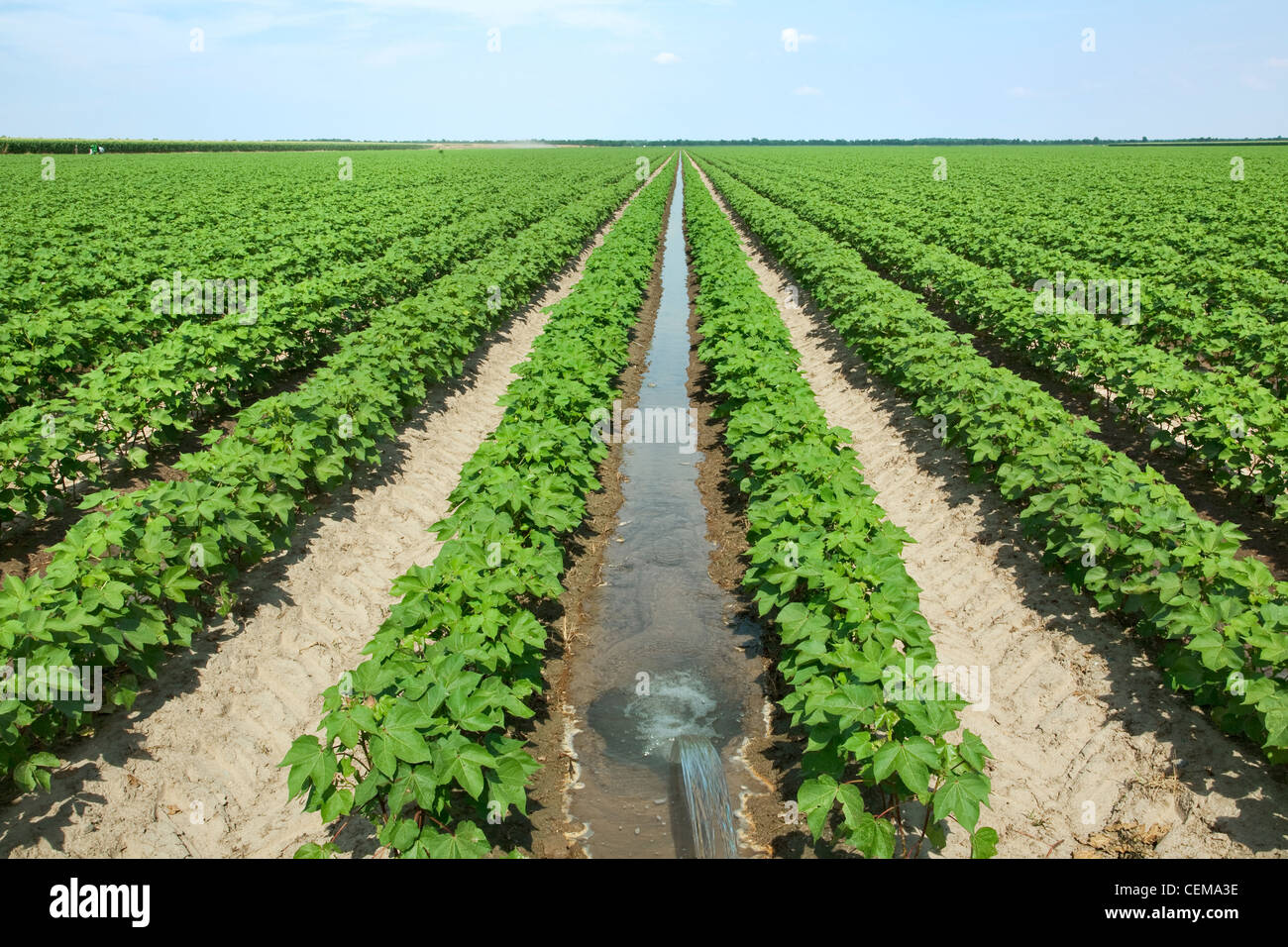 Field of mid growth cotton at fruit set stage, being furrow irrigated. The water is directed down every other row - Stock Image