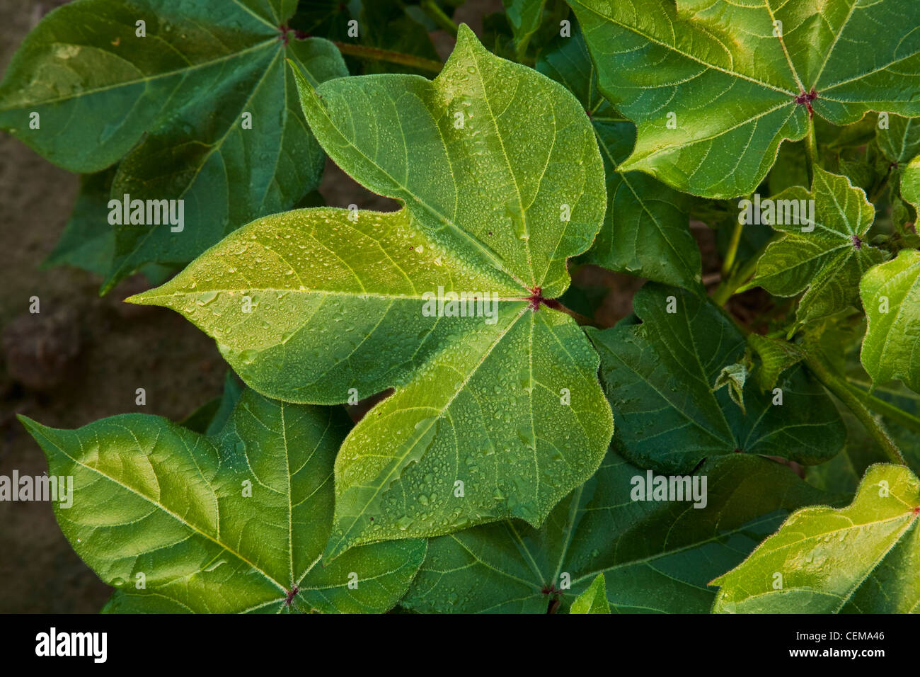 Early morning light and dew drops on healthy mid growth cotton foliage at the peak of boll set / near England, Arkansas, - Stock Image