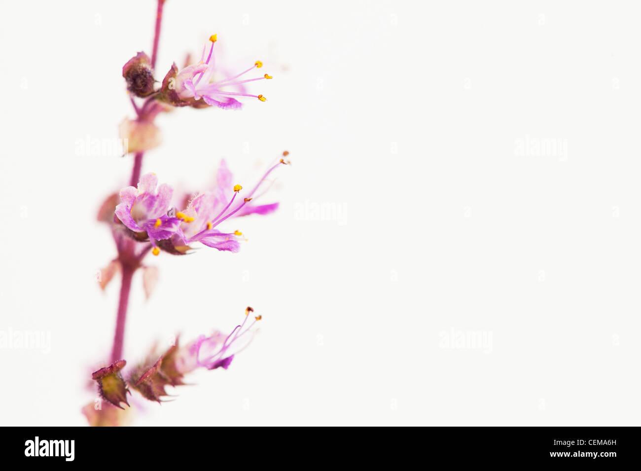 Ocimum tenuiflorum. Holy Basil, Tulsi plant and flowers on white background - Stock Image