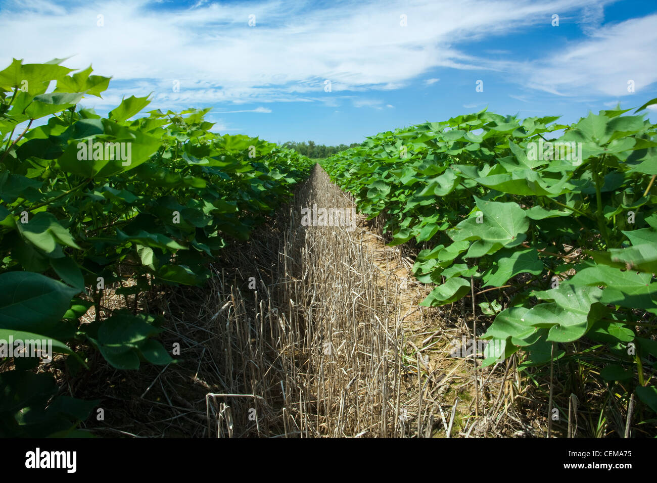 View down between rows of mid growth no-till cotton plants at the mid fruit set stage / near England, Arkansas, - Stock Image