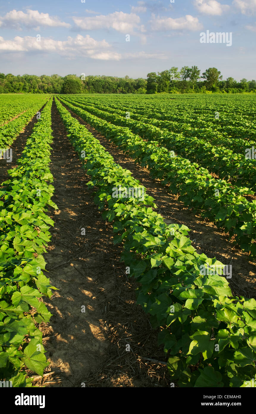 Agriculture - Field of healthy mid growth no-till cotton at the squaring stage in early morning light / Western - Stock Image