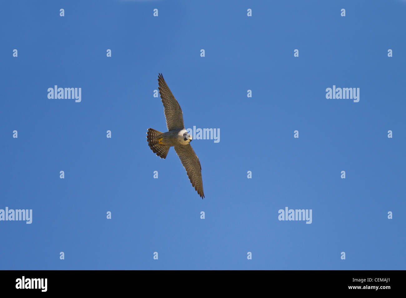 Wanderfalke, Falco peregrinus, peregrine falcon Stock Photo