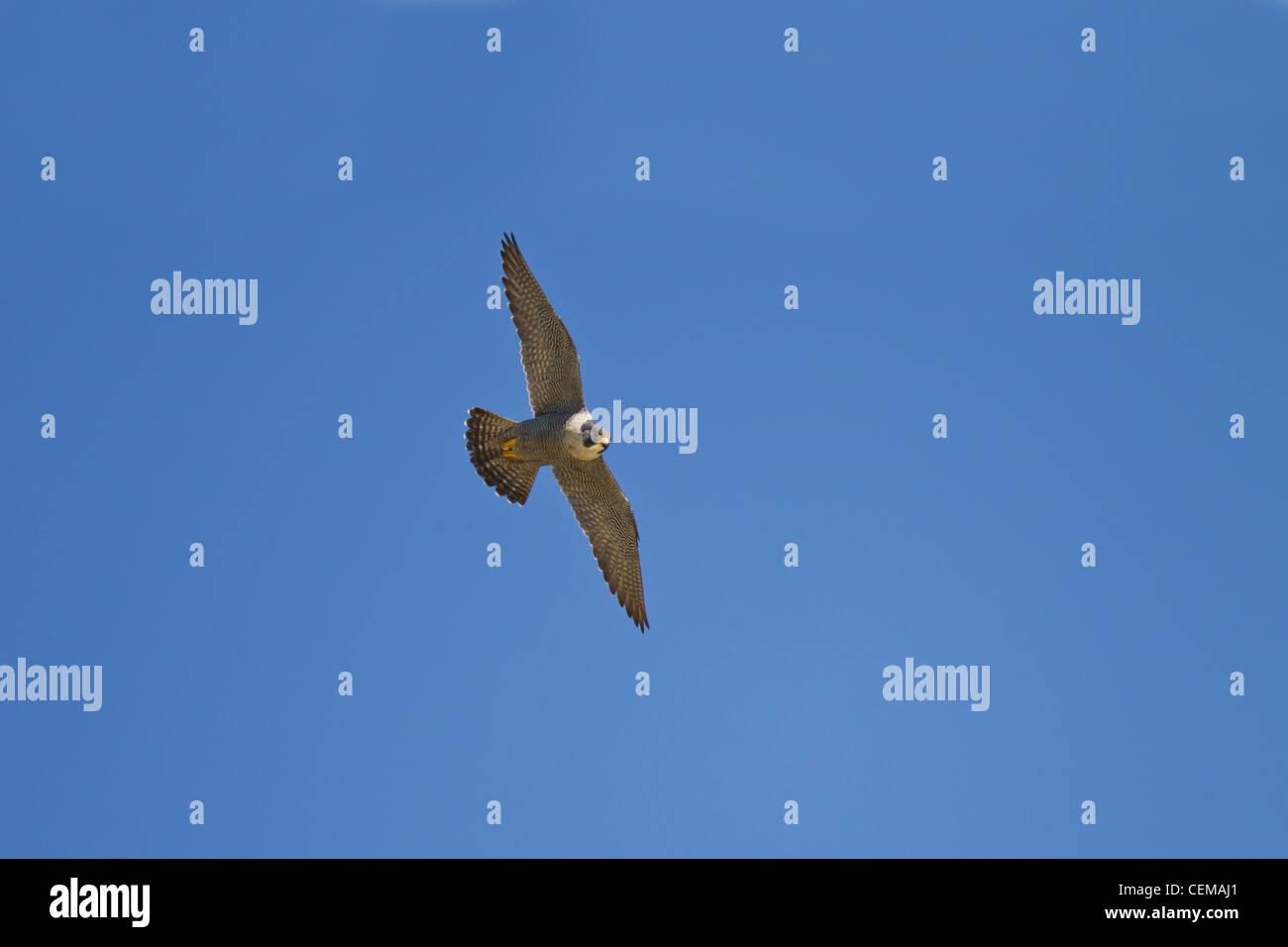 Wanderfalke, Falco peregrinus, peregrine falcon - Stock Image