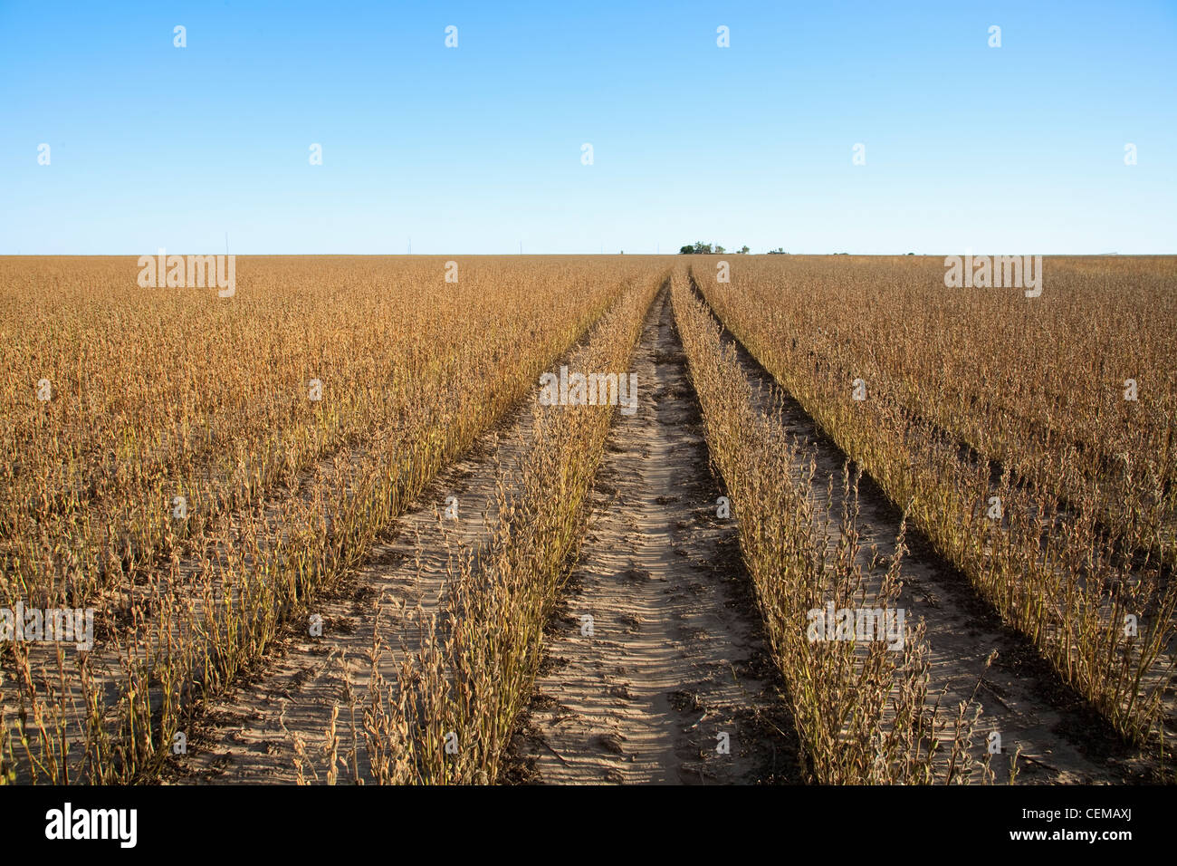 Agriculture - Field of maturing sesame plants nearing harvest stage / West Texas, USA. - Stock Image