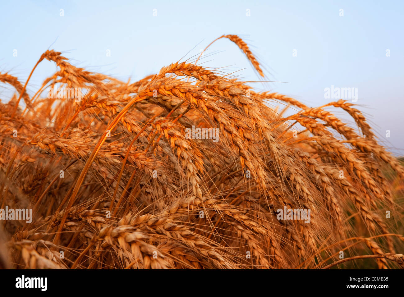 Closeup of mature harvest stage soft red winter wheat in ...