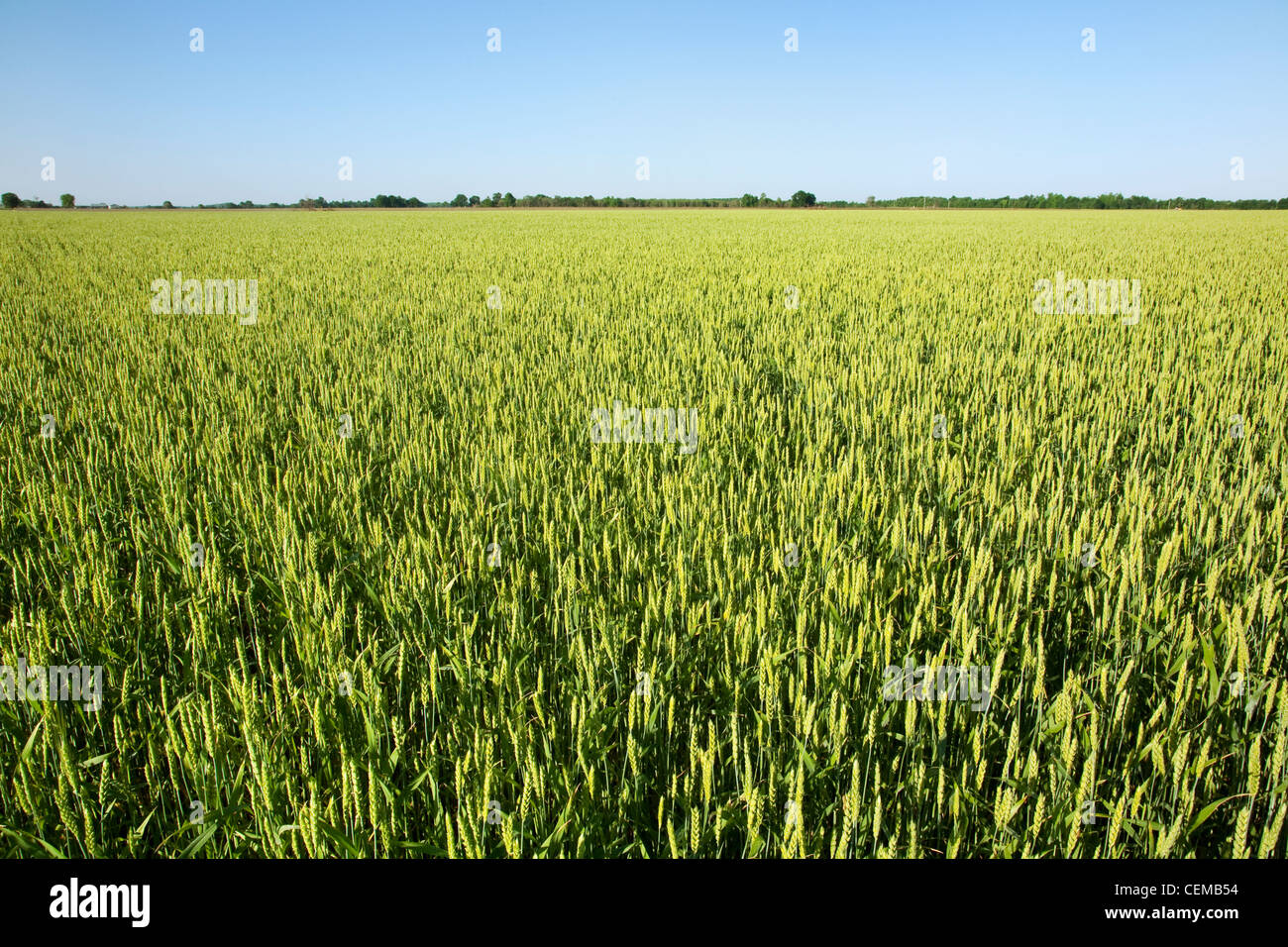 Field of headed out maturing mid growth soft red winter wheat in mid Spring. This crop will mature and be harvested - Stock Image