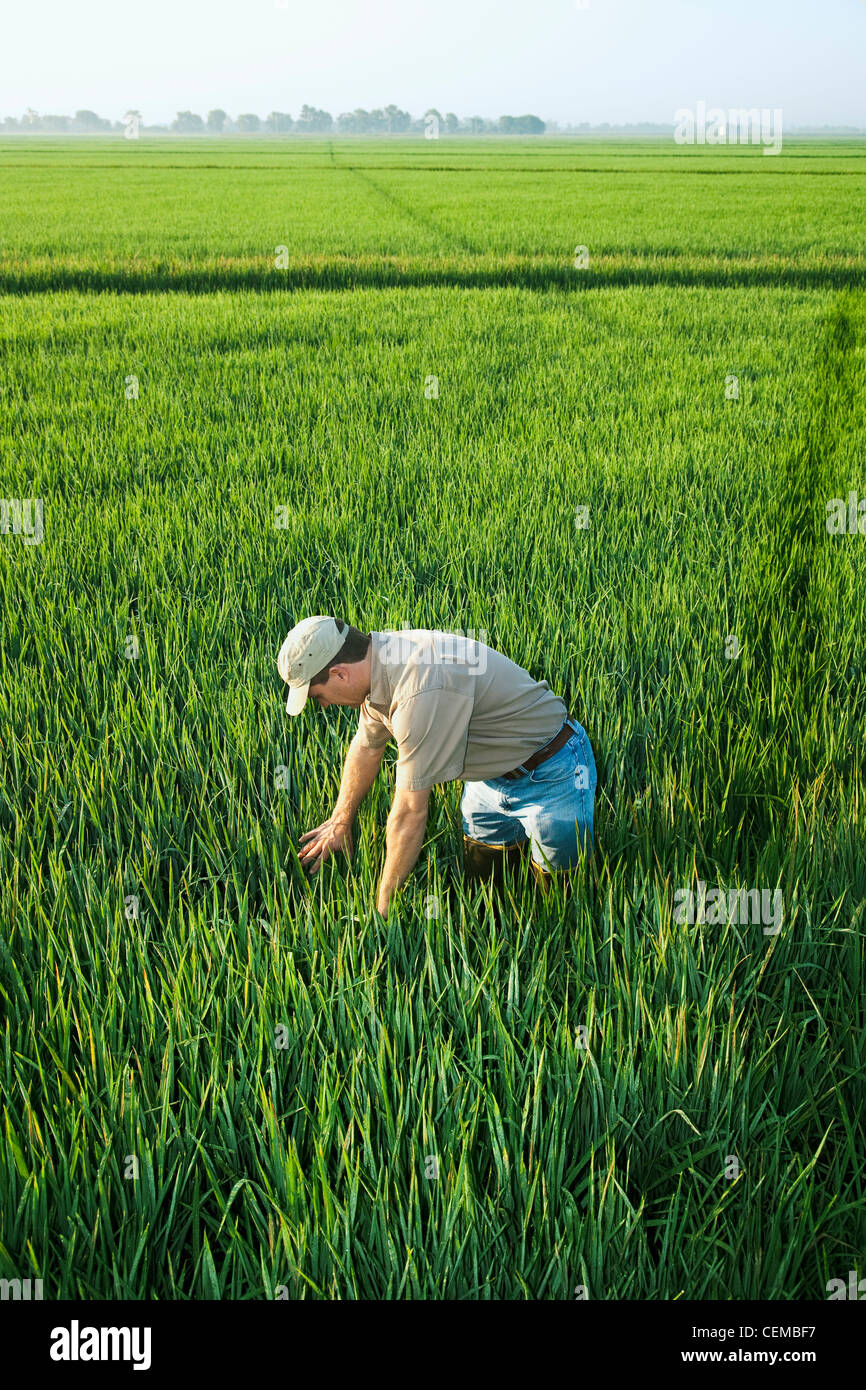A Farmer (grower) Inspects His Mid Growth
