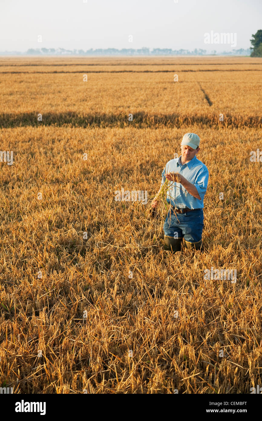 A farmer (grower) in his field inspects his nearly mature rice plant in order to determine when the harvest will - Stock Image