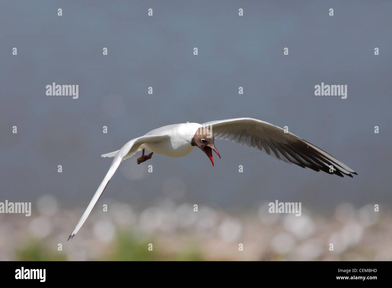 black headed gull (Lat.: Larus ridibundus) - Stock Image