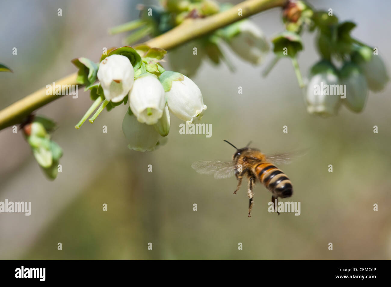 Agriculture - A honey bee pollinates a blueberry blossom / Arkansas, USA. - Stock Image
