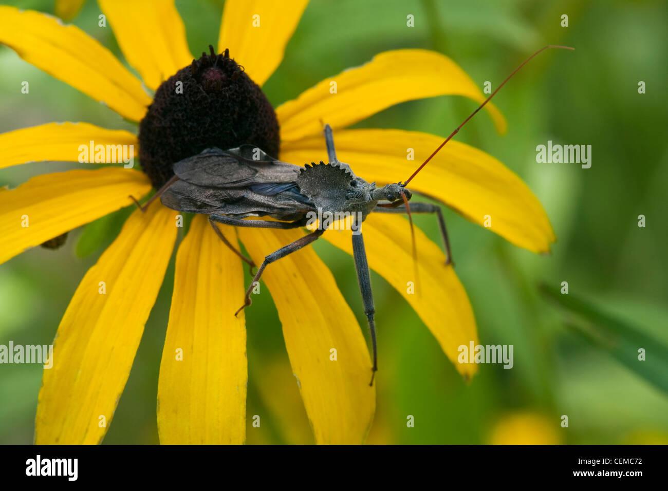 A Wheel Bug, aka. Sail-back Dinosaur Bug (Arilus cristatus) resting on a Black-eyed Susan (Rudbeckia hirta) / Kansas, - Stock Image