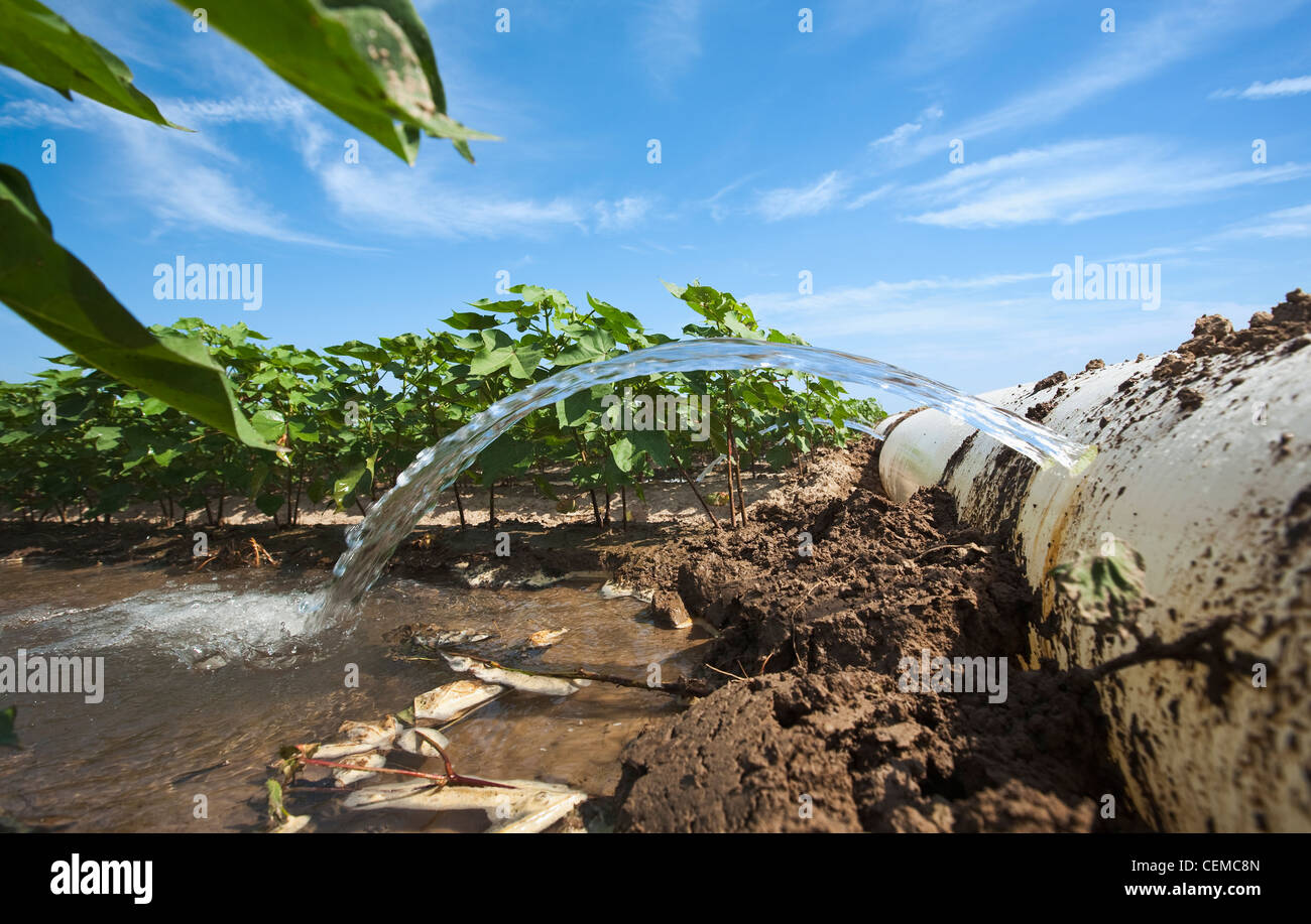 Furrow irrigation of a mid growth cotton crop utilizing a poly roll out pipe / near England, Arkansas, USA. - Stock Image