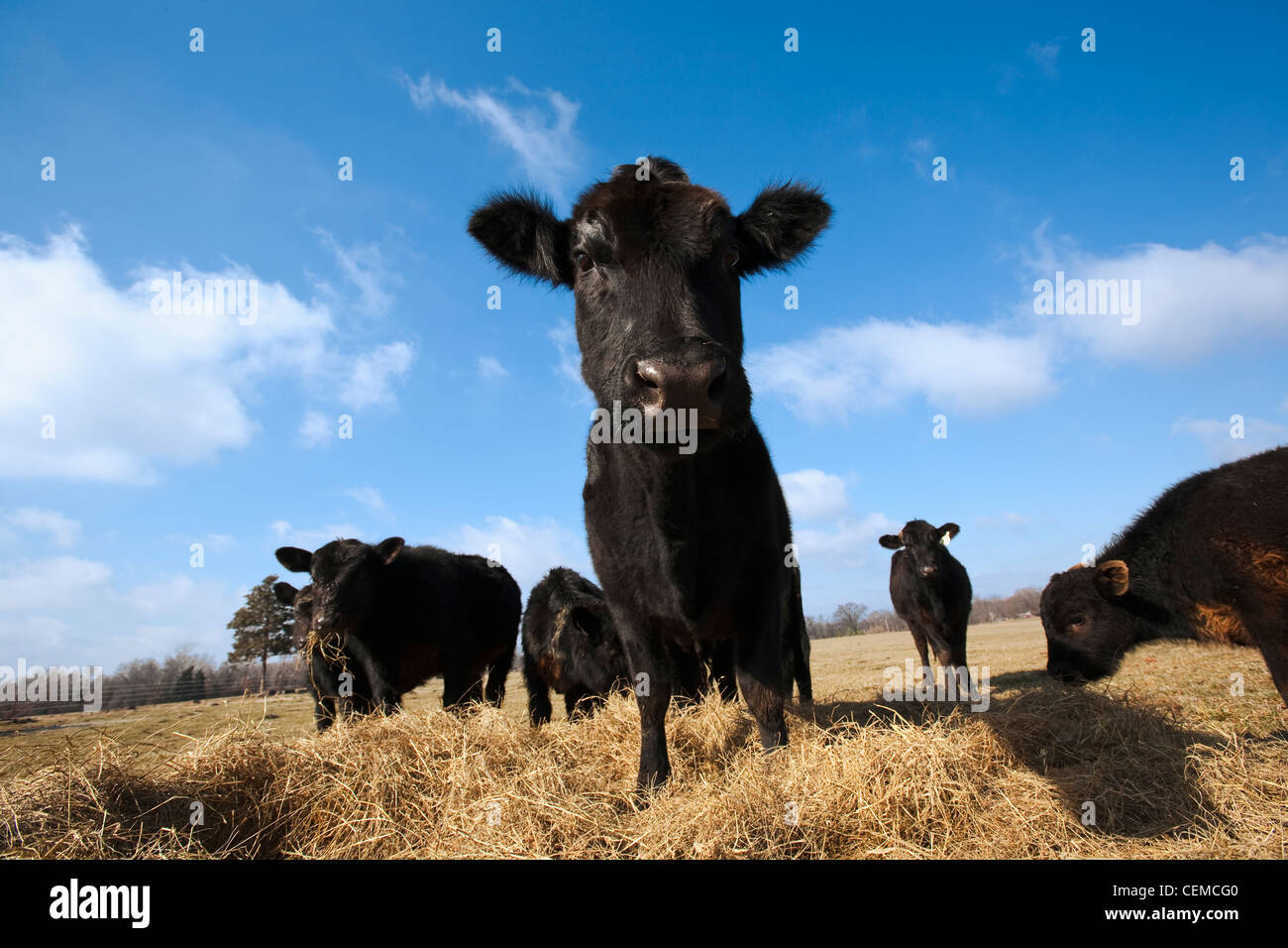 Livestock - Black Angus beef cattle feeding on hay on a dry, cold winter pasture / Arkansas, USA. - Stock Image