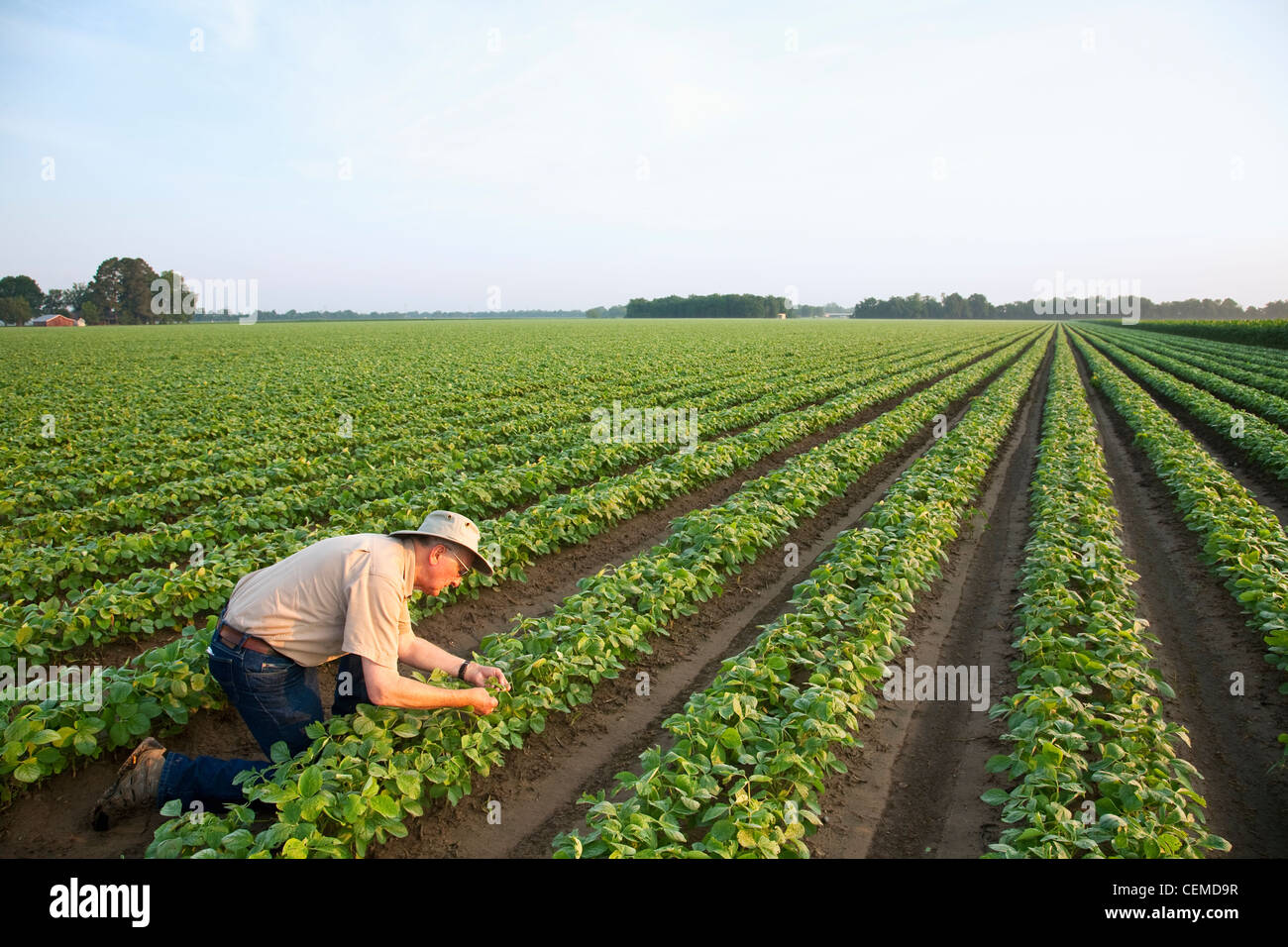 Agriculture - A crop consultant inspects an early growth crop of twin row soybeans, with two rows per bed / Arkansas, - Stock Image