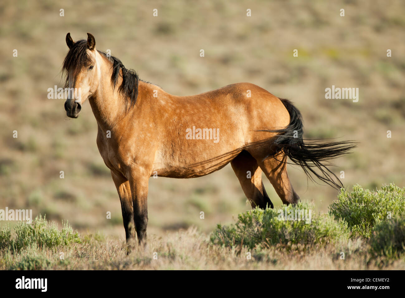 Wild horse, Equus ferus, Nevada - Stock Image