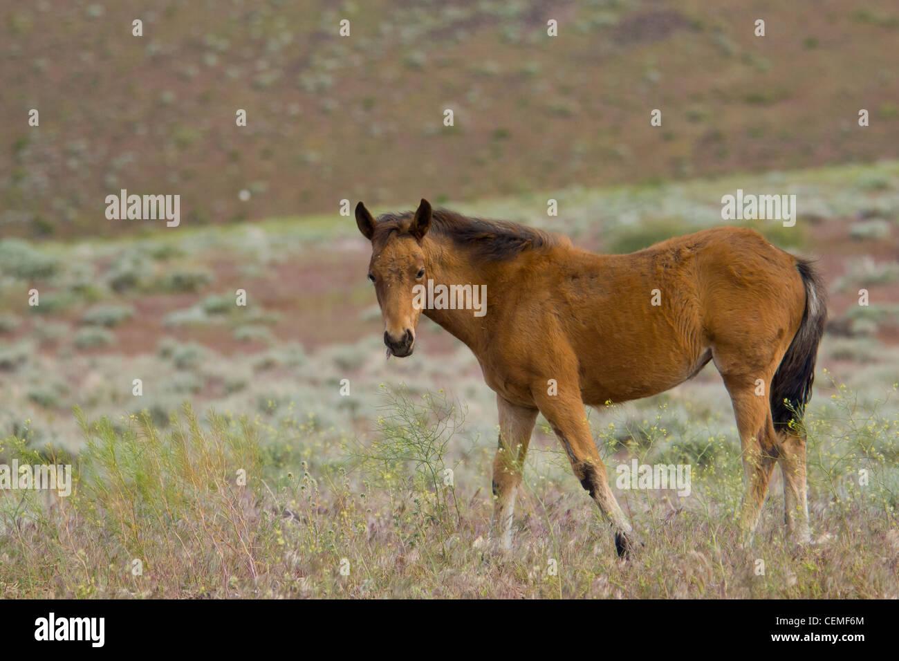Wild horse, Equus ferus - Stock Image