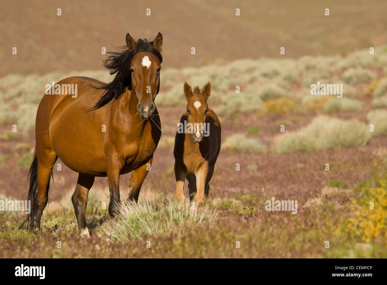 Wild Horse Mare With Colt Baby Equus Ferus Nevada Stock Photo Alamy