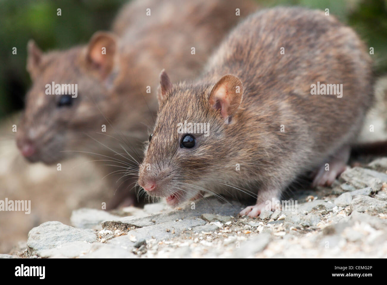 Two Brown Rats coming out of their burrow to feed - Stock Image