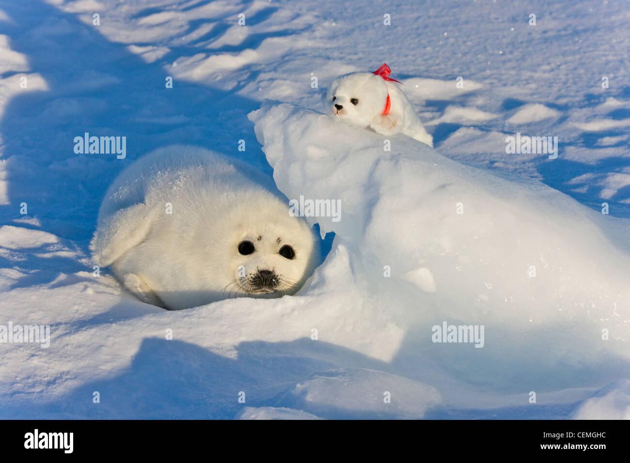 Harp seal pup with stuffed seal toy on ice, Iles de la ...