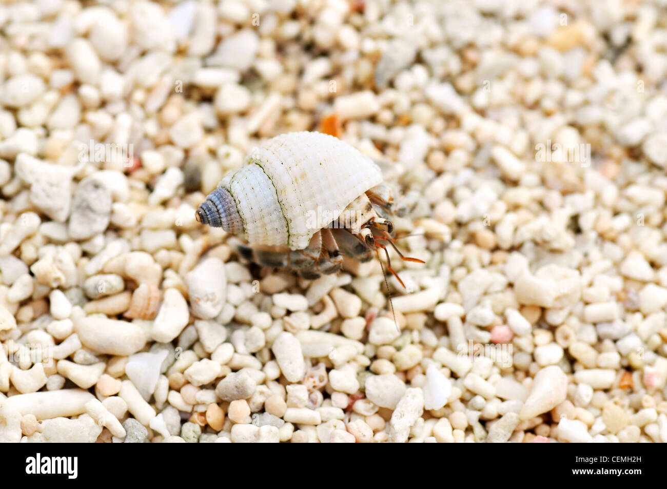 Tiny little hermit crab on the beach - Stock Image