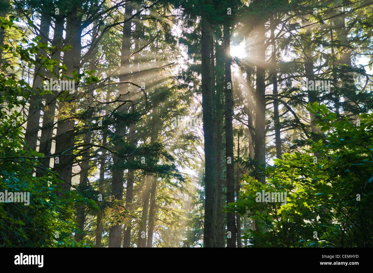 Sunbeams shine through trees in forest, Cape Lookout State Park, Oregon - Stock Image