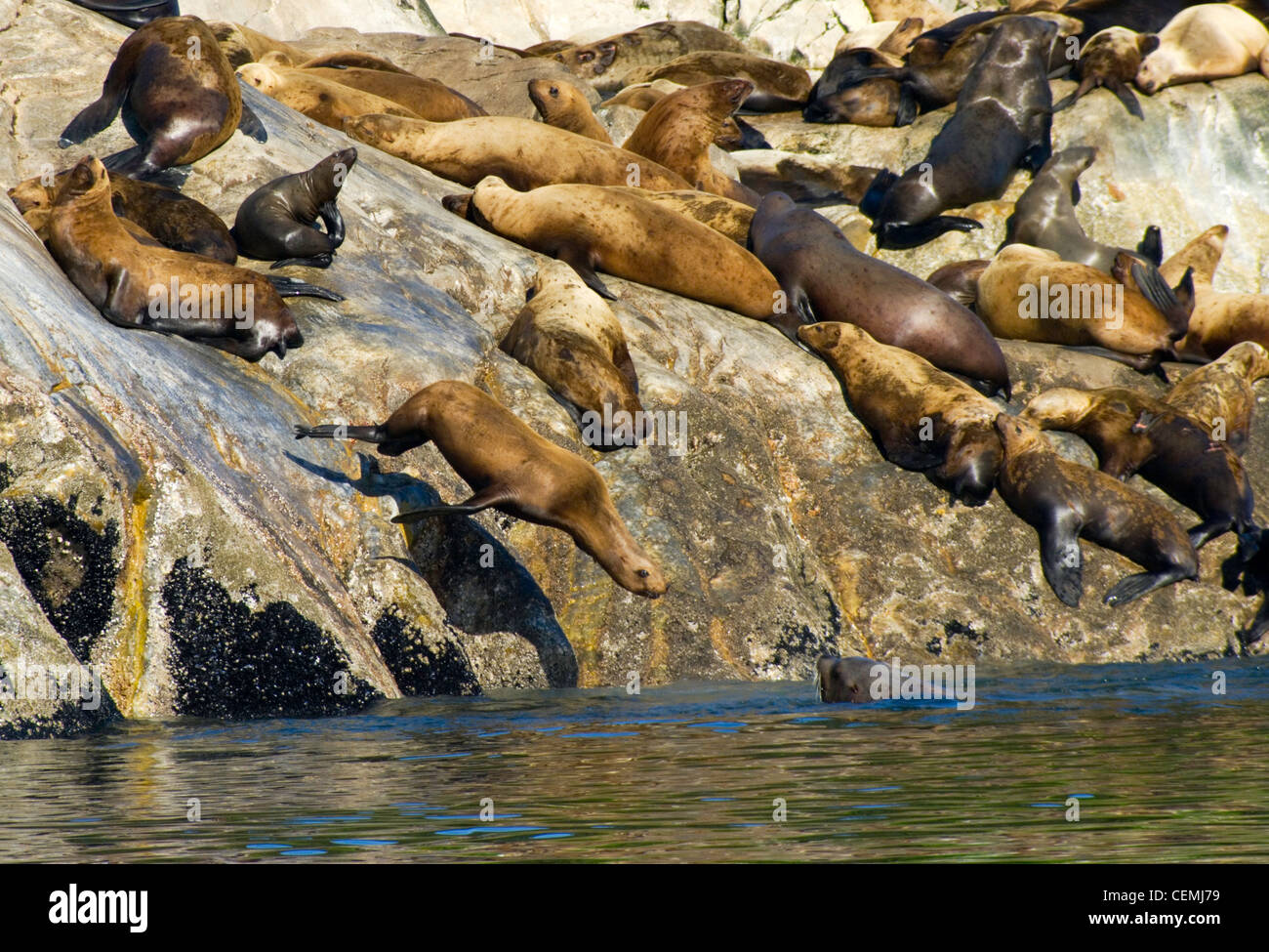 Stellar sea lions frolic on North Marble Island, Glacier Bay National Park - Stock Image