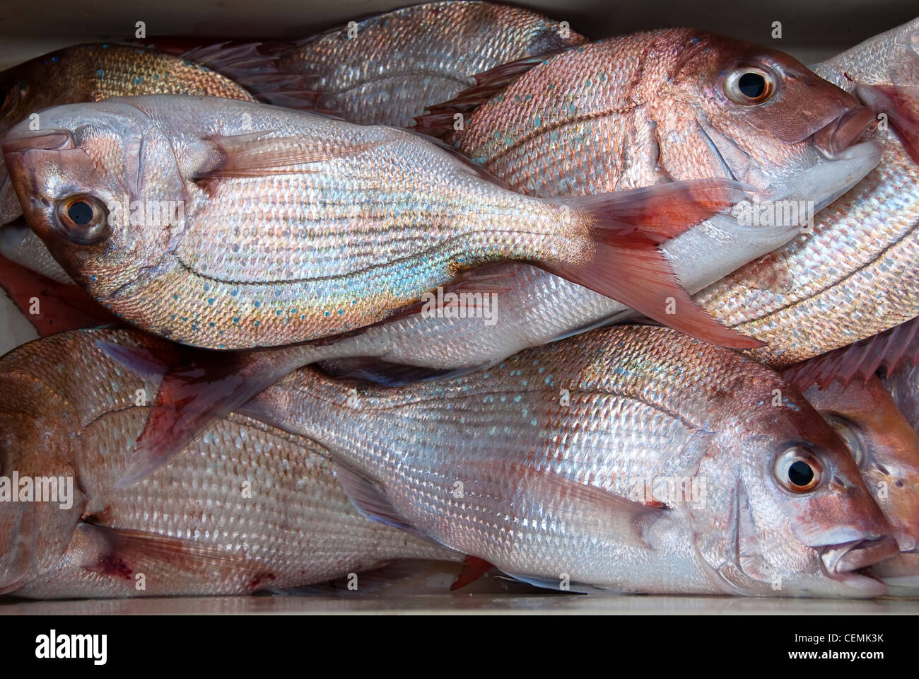 Fish bin full of fresh caught red snapper fish in New Zealand Stock Photo